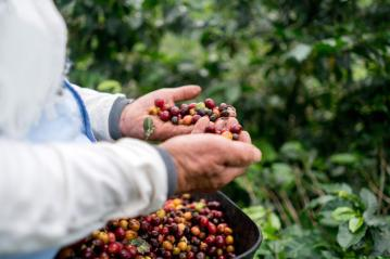 farmer_collecting_coffee_beans